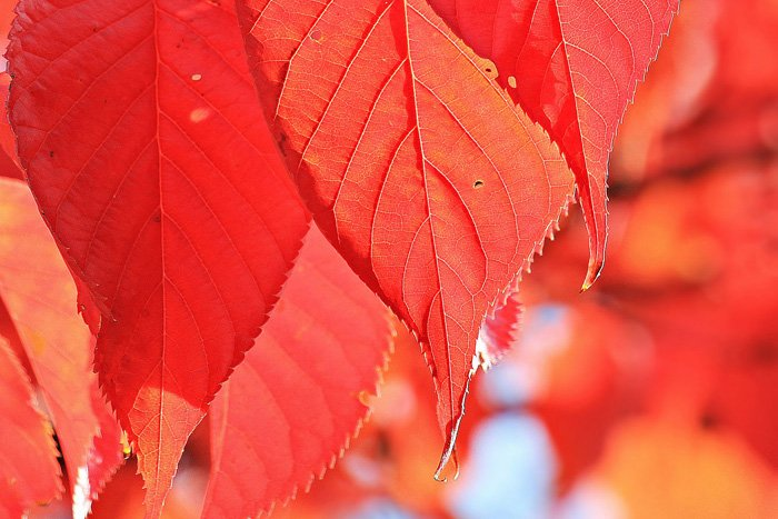 A close up photo of autumn leaves using red monochromatic colors