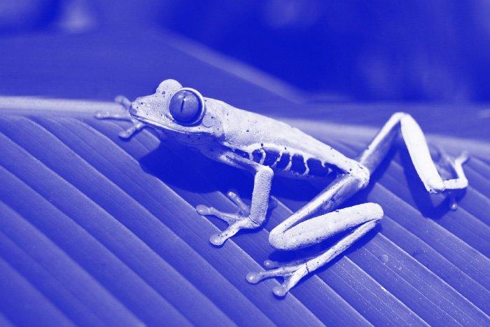 Blue tone monochromatic photo of a frog on a leaf