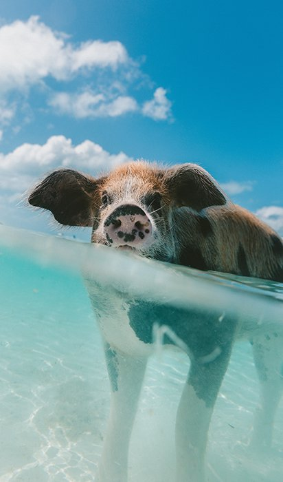 Cute underwater portrait of a pig swimming