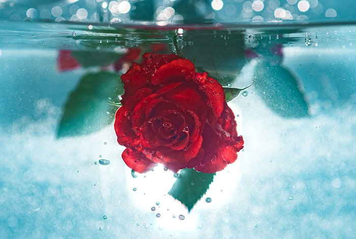 a red rose underwater