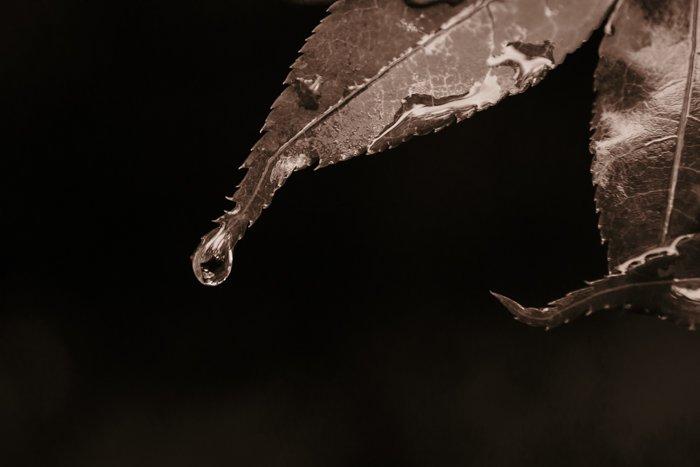 一滴水从叶子上滚下来的深褐色特写