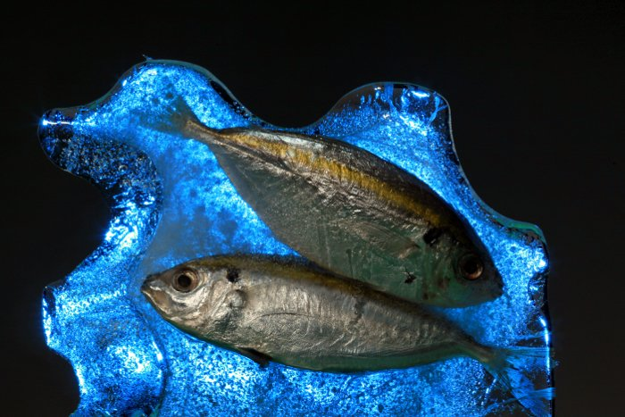 Creative still life of two dead fish lit from behind using a strobe with a blue gel on it.