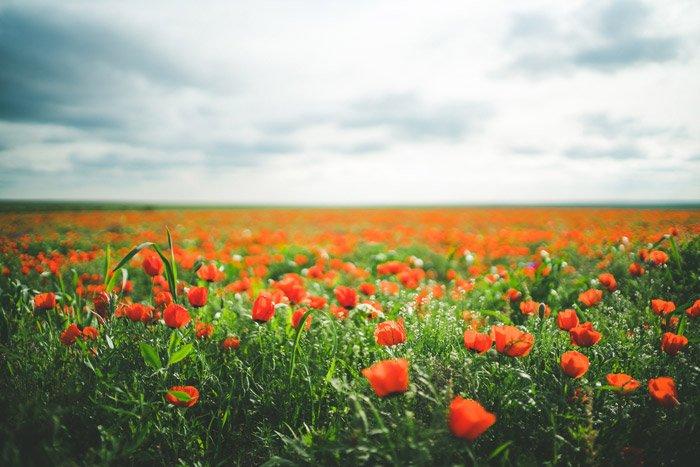 a beautiful landscape shot of a poppy field under a cloudy sky - stunning landscape photos