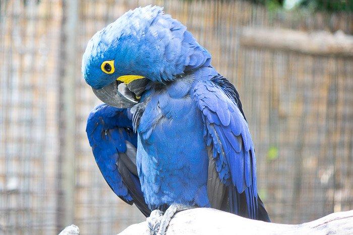 A portrait of a blue parrot perched on a branch