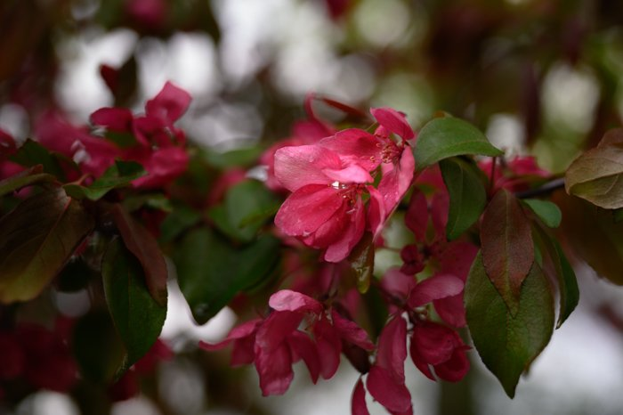An image of pink flowers with a blurry background