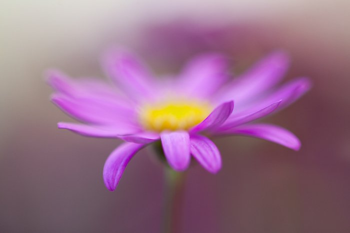 Stunning macro image of a pink and yellow flower