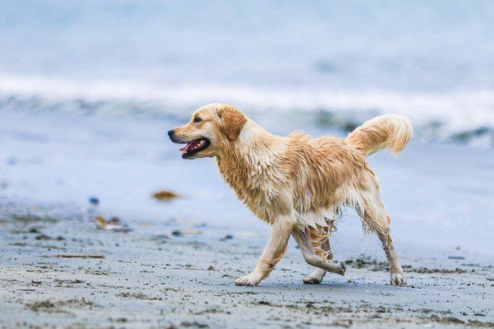 a golden retriever running on the beach - pet photography aperture