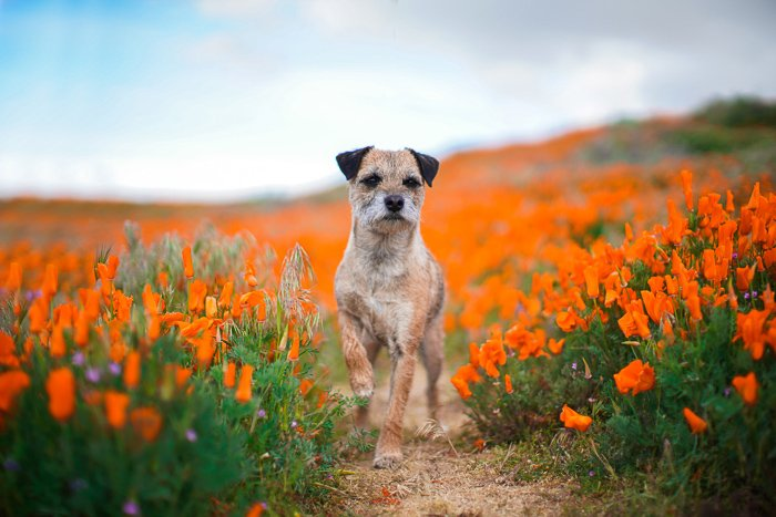 a small brown standing among bright wild flowers - pet photography aperture