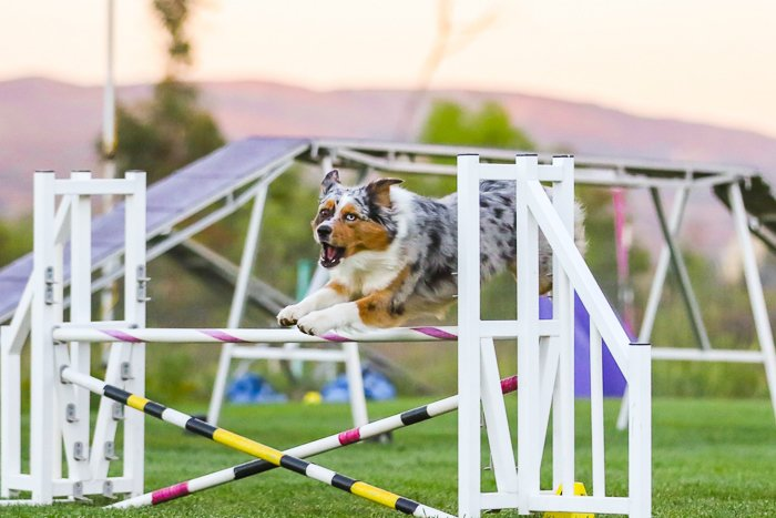 a dog jumping during a canine agility event
