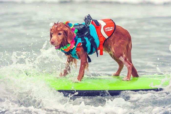 a cute pet portrait of a dog on a surfboard - aperture for pet photography