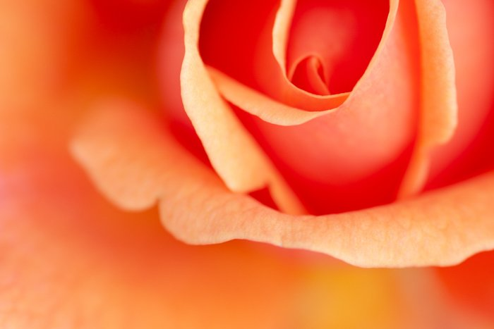 Macro shot of the centre of a rose