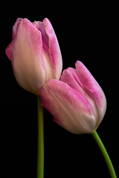 Close up shot of two tulips with black background