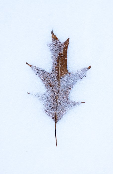 macro photography examples of a snow covered leaf