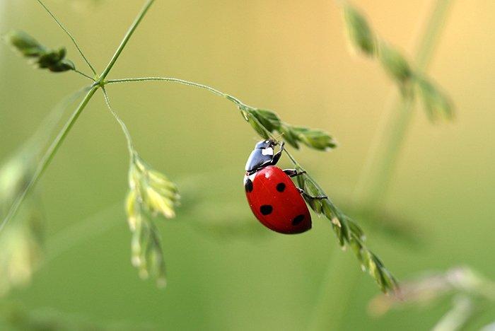 A macro photo of a ladybird climbing a stalk of grass