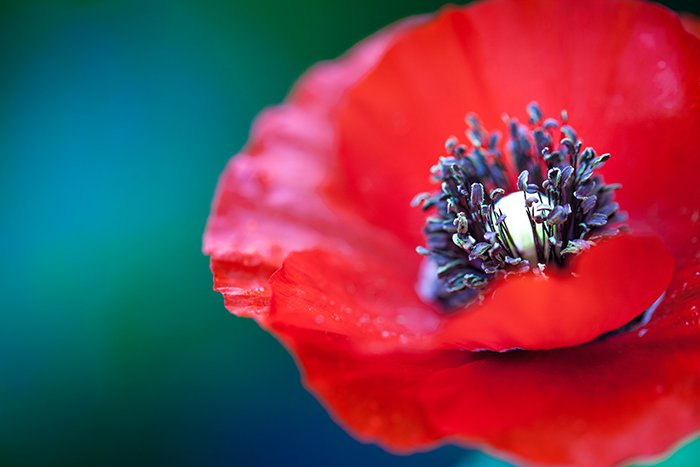 a macro photo of a poppy edited in Lightroom