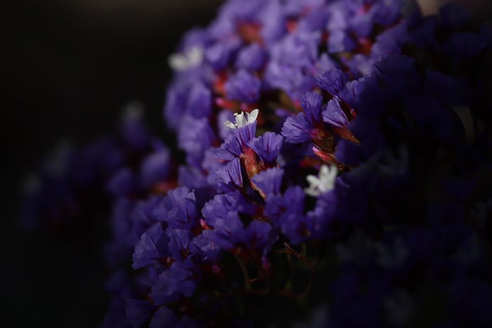 A macro photo of purple flowers with vignetting effect added in Lightroom