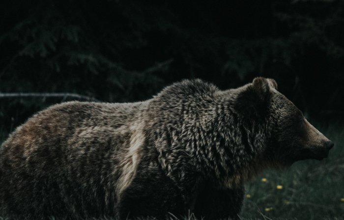 a low light image of a bear shot with a super telephoto lens