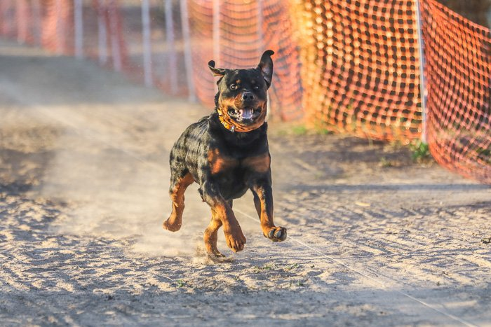 a black and brown dog running on a sandy track