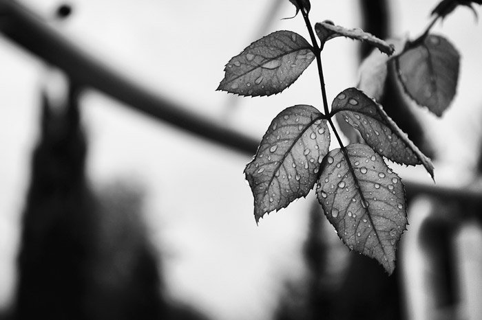 a black and white shot of rain splashed leafs - symbolism in photography