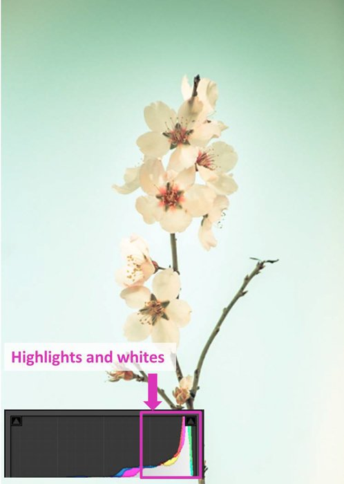a flower photoand lightroom histogram showing highlights and whites