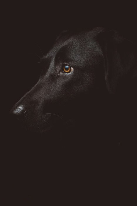 atmospheric pet portrait of a black dog on black background - symbolism in photography