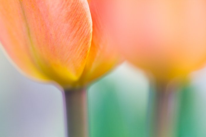 A soft focus fine art macro photos of tulips