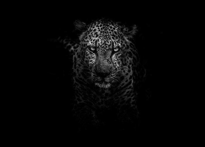 Dramatic low key portrait of a jaguar - symbolism in photography