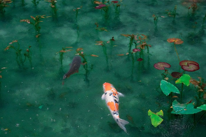 Koi carp swimming in a pond - symbolism in photography