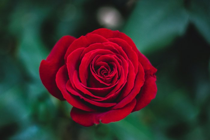 a red rose - symbolism in photography