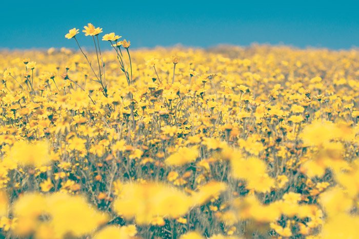 a meadow of yellow flowers - symbolism in photography