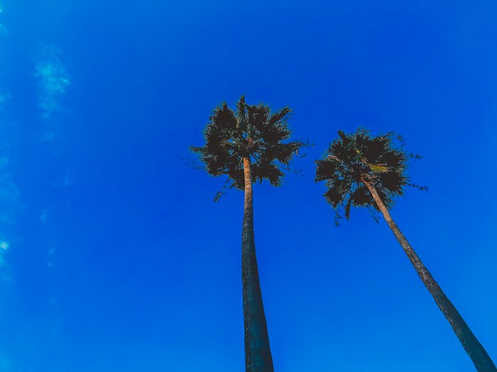 Photo of two palm trees taken from a lower angle