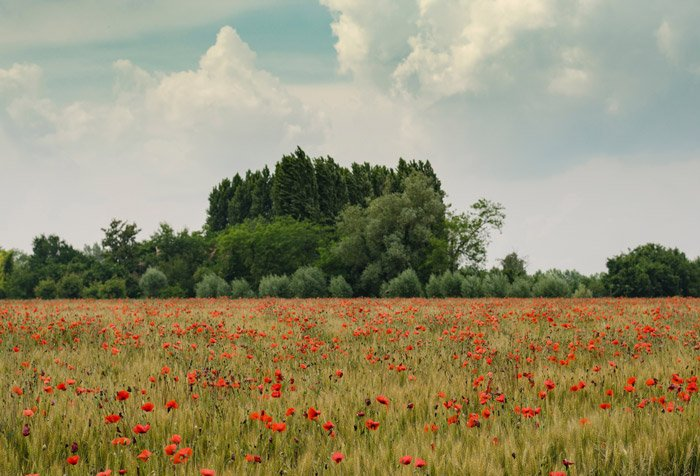 Landscape photo of a field full of red poppies with a forest in the background