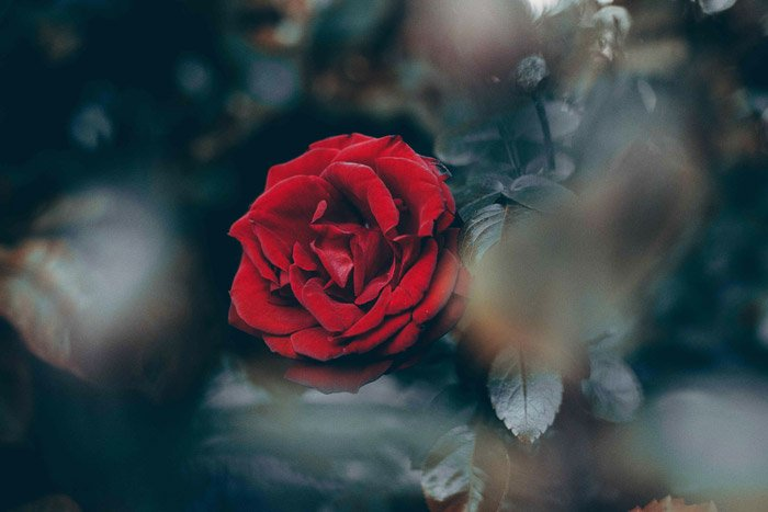 Close-up photo of a red rose with blurry spots in the foreground