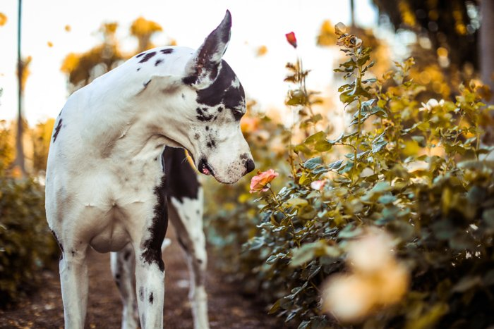Photo of a dog sniffing a flower