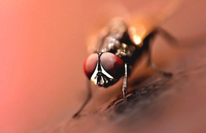 Macro photo of a fly