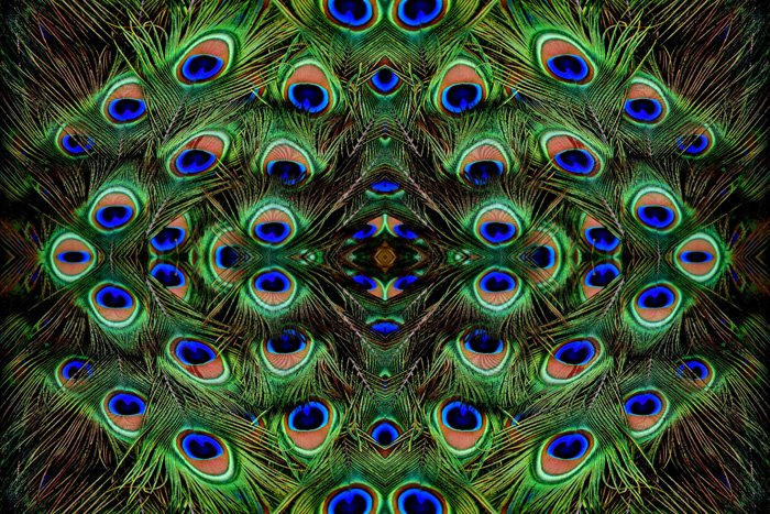 Photo of colorful peacock feathers mirrored