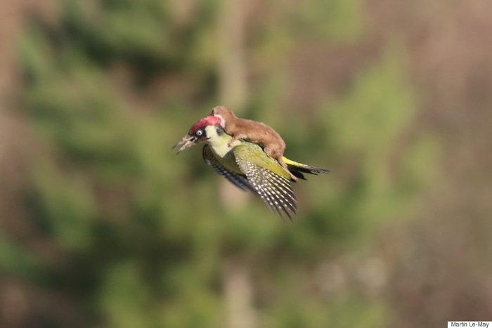 Photo of a woodpecker with a weasel on its back