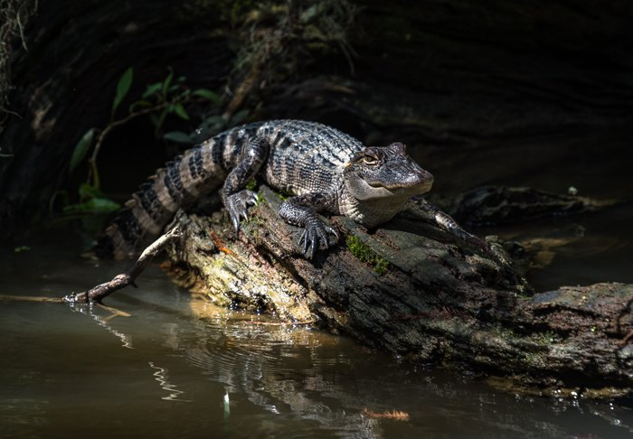 Bayou alligator in Louisiana swamp