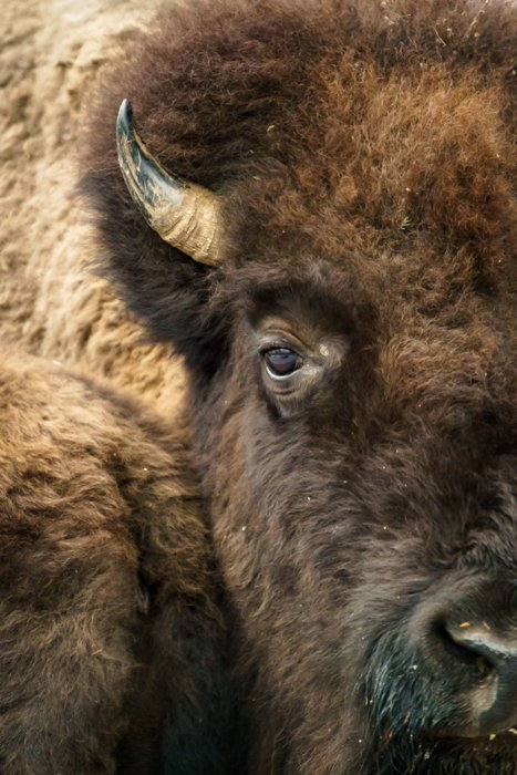 American bison looking into the camera