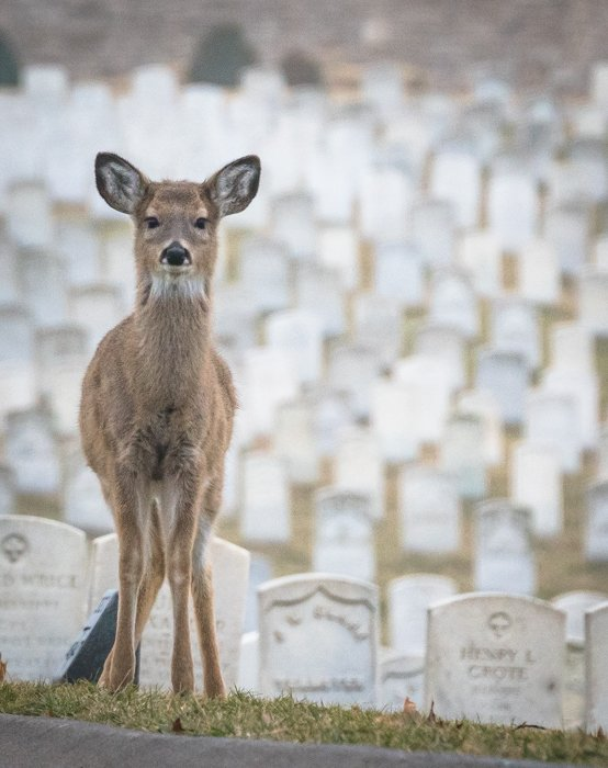 White-tailed deer at Jefferson Barracks cemetery