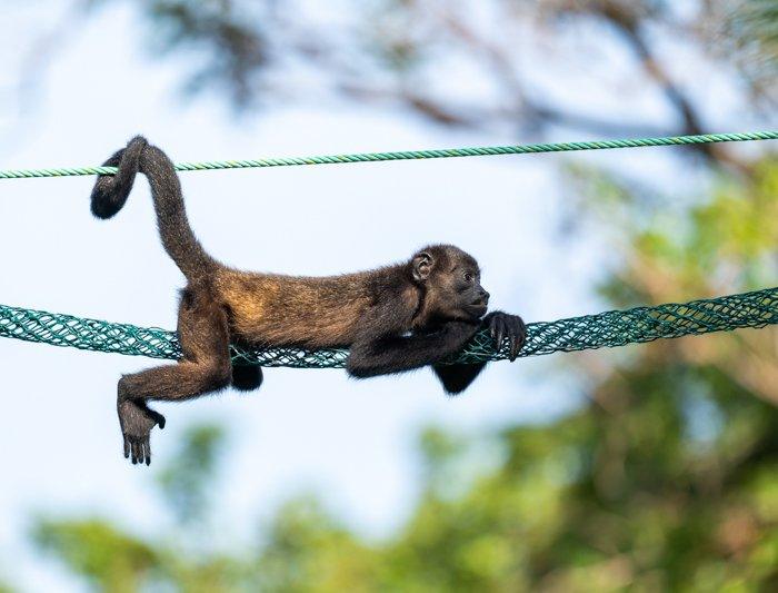Baby Howler Monkey in Costa Rica resting on a monkey ladder against a bright sky