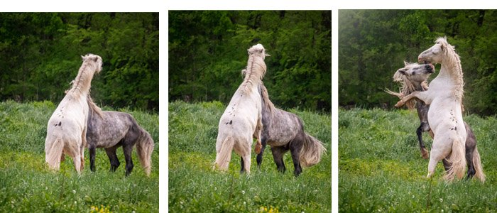 Horses 'dancing' in a field