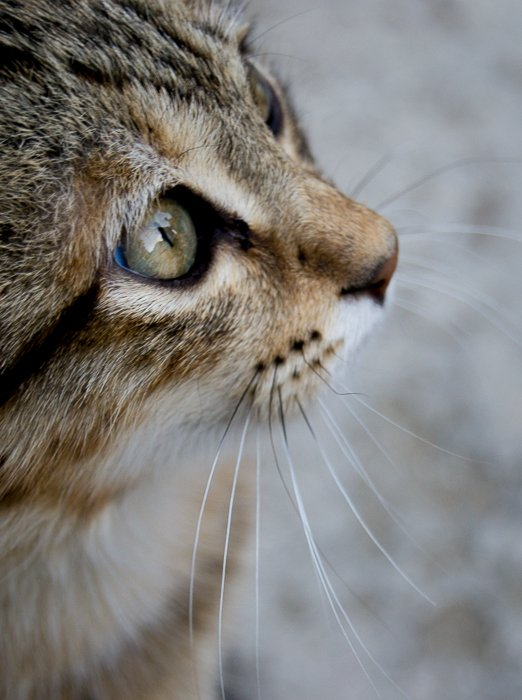 a close up photo of a tabby cat