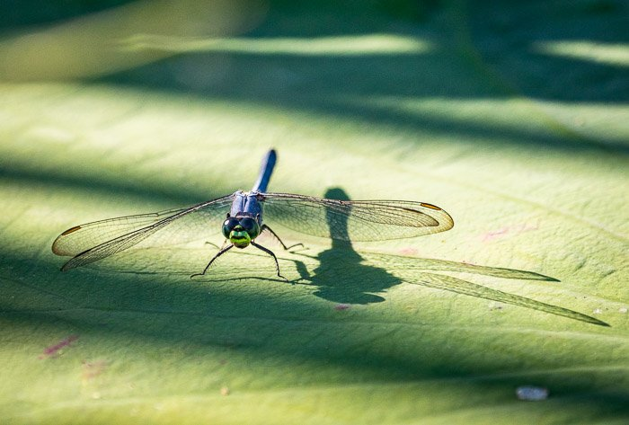 A dragonfly basking in sunlight on a leaf
