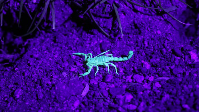 UV photo of a scorpion in teal color against purple background