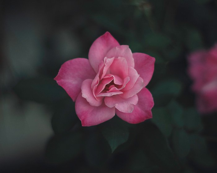 a close up of a pink flower