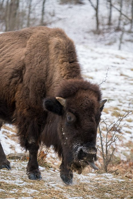 Photo of a bison on a snowy field