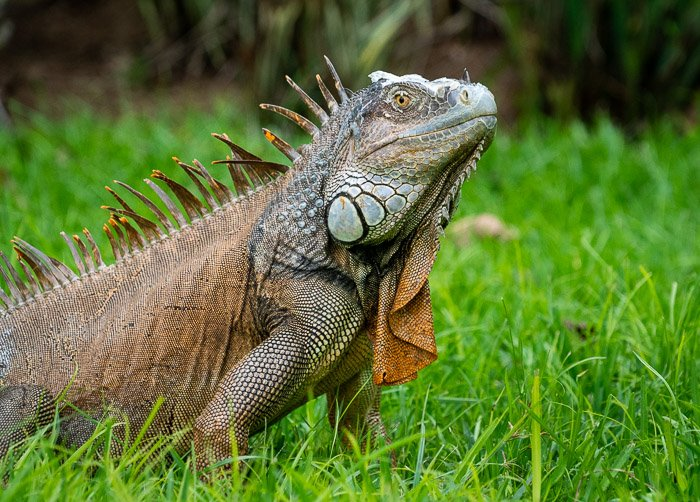 Photo of an iguana in the grass