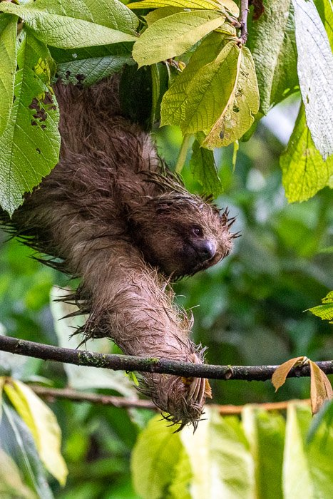 Photo of a sloth climbing from tree to tree