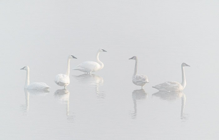 Photo of swans in the fog